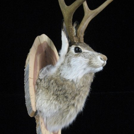 Mounted Taxidermy Jackalope Head ©celticjackalope.com