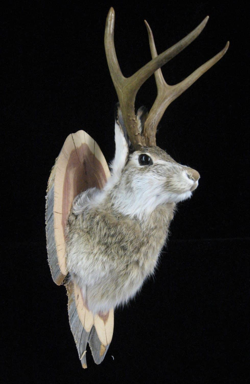 mounted taxidermy jackalope head celtic jackalope