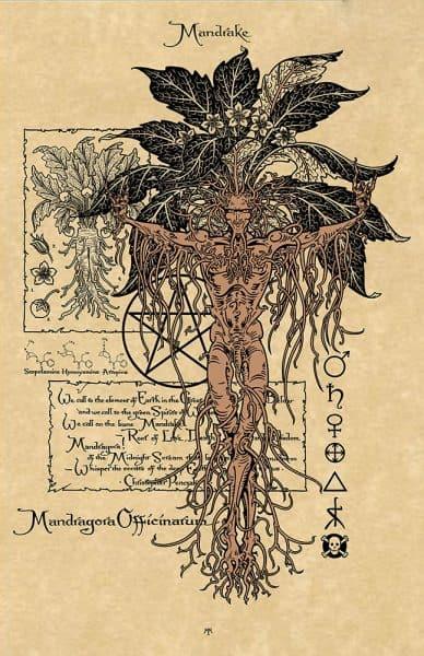 Mandrake Parchment Print Magical Botanicals Series by Maxine Miller ©celticjackalope.com